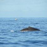 Baleine à bosse avant la plongée