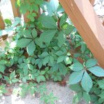 Poison Ivy in pool area