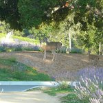 Deer among the Lavender