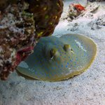 Blue spotted ribontail ray- Sibuan Island