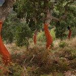 Forêt de chêne liège