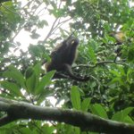 Howler monkeys right over our heads!
