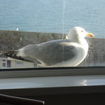our early morning call, sandy the seagull