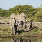 Elephants near Hallali