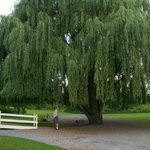 I think that I shall never see a tree so lovely as this one on the grounds of Little Lakes Inn <