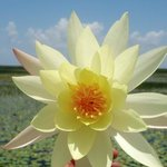 Gorgeous Water Lilies !