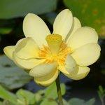 Lotus in bloom !