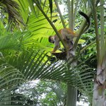 Squirrel monkeys at Tulemar
