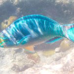 queen angelfish, terminal phase