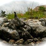 Stately Iguanas