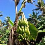 Home grown bananas