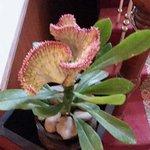 cactus flower in hotel suriwangse, chiang mai
