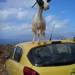 Goats love the parked cars.