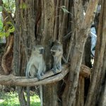 Monkeys in Camp