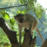 Monkey in Camp