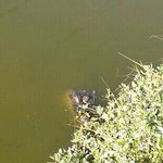 alligator in water, next to trail/walkway