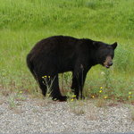 Black Bear next to Hwy.