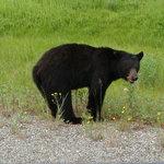 Black Bear next to Hwy.