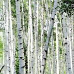 Aspens in Gunnison National Forest