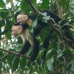 White-faced capuchin and baby