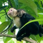 White-faced capuchin and very young baby