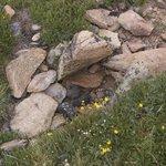 Tiny alpine flowers