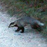 It's a badger