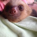 Natalie, the baby sloth