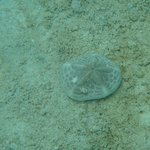 sand dollar- snorkeling on Serenity Bay