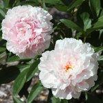 Blooming Peonies in the back yard