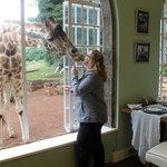 Feeding giraffes at breakfast
