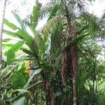 Bananeiras na trilha