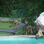 Baboons in the pool