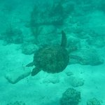 Turtle bei Bimini Road