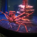 Jap Spider Crab