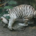 Zoo de Liberec - Tigre blanc