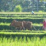 Blick von der Villa Orchid Bali auf die Reisfelder (Zoom)