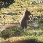 Red squirrel in our front garden