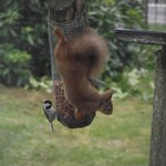 Red squirrel with Coal Tit