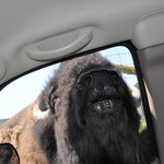 This poor bison was trying to get his nose into our car for food