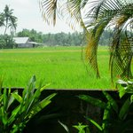 Rice paddies- view from room