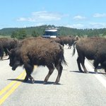 Bison Stopping