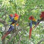 Always plenty of macaws