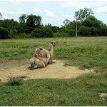 'Joe' the camel