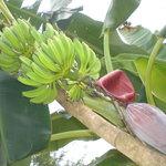Bananenstauden ohen Ende