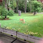 Deer eating corn out back in the yard