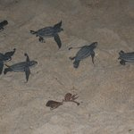 leatherback turtles hatching