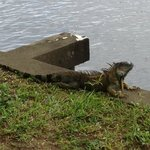 One of the many iguanas on the property