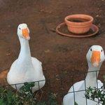 Ducks in the private garden