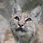 Bobcat at Lakota